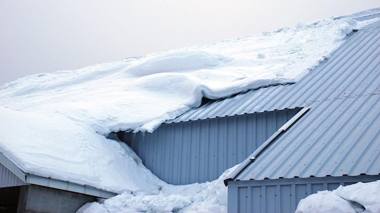 Mycket snö på taket till Arcushallen i Luleå. Foto: Hjalmar Lindberg/Sveriges Radio.