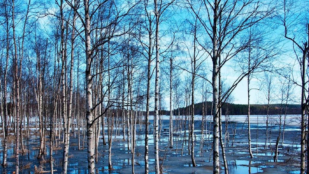 Lyssnarbild: Björkar i fotvatten – tagen i Sundom av Cristina Paulin-Casplin från Kallax.