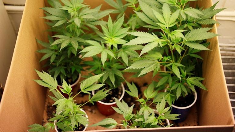 Unga cannabisplator i en kartong. Fotograf: Eric Risberg TT/AP
