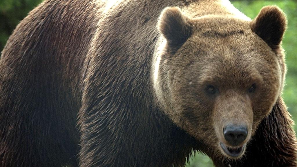 En björn. Foto: Fredrik Sandberg / TT