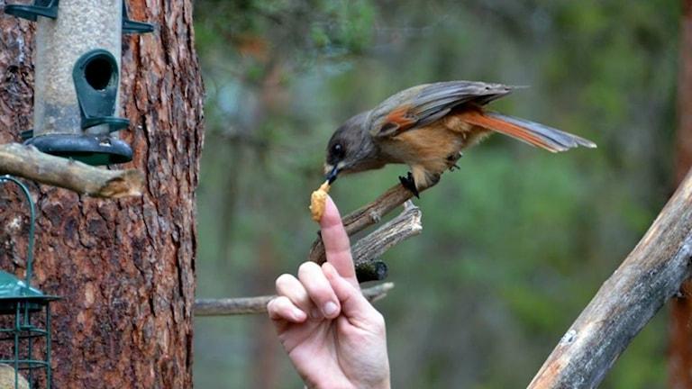 I veckans vinnarbild äter lavskrikan jordnötssmör ur Kristina Mettävainios hand. Foto: Privat