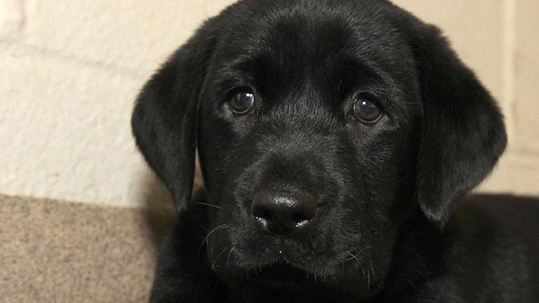 Labrador var den populäraste hundrasen 2015. Foto: TT