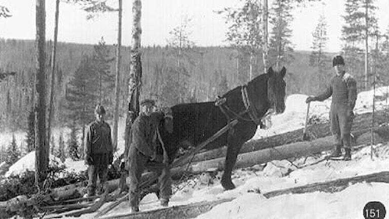 Häst i skogsarbete