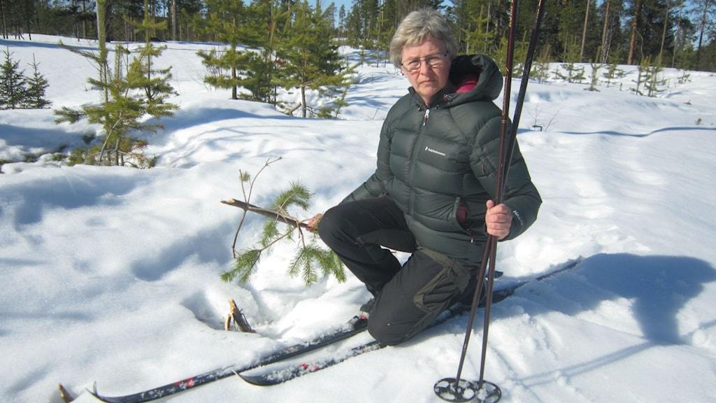 Majvor Sjölund, skidor, stavar, snö , skogsplanta som gått av. Foto: Beatrice Karlsson/Sveriges Radio.