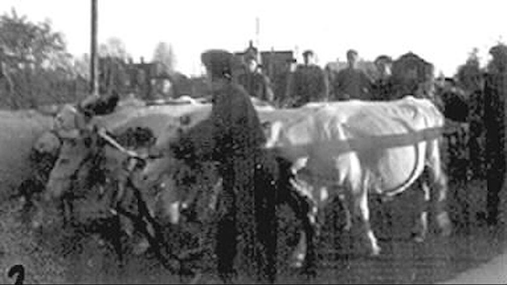 Evakuering under andra världskriget. Människor och Djur.