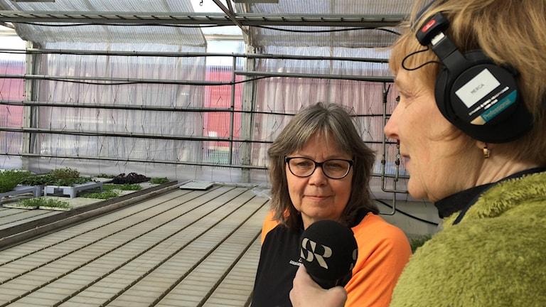 P4 Norrbottens Eleonor Norgren intervjuar Maria Engström i Björsby handelsträdgård.