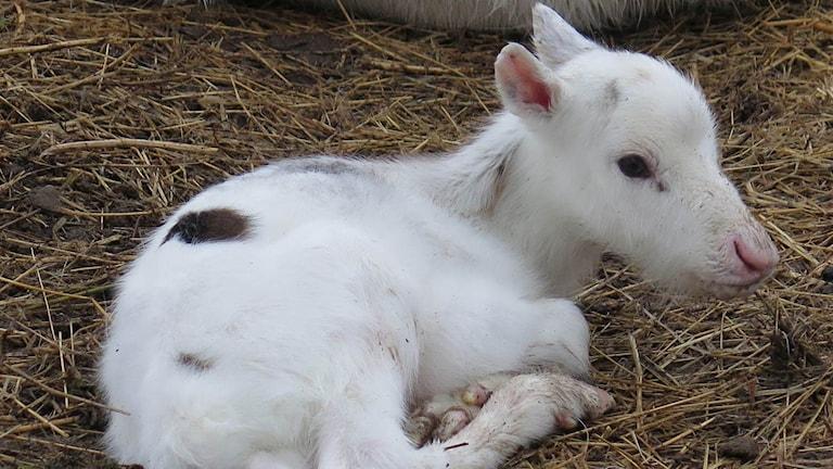 Tina Eriksson i Forsträskhed fick en stund med den alldeles nyfödda kalven, och lyckades få denna fina bild.