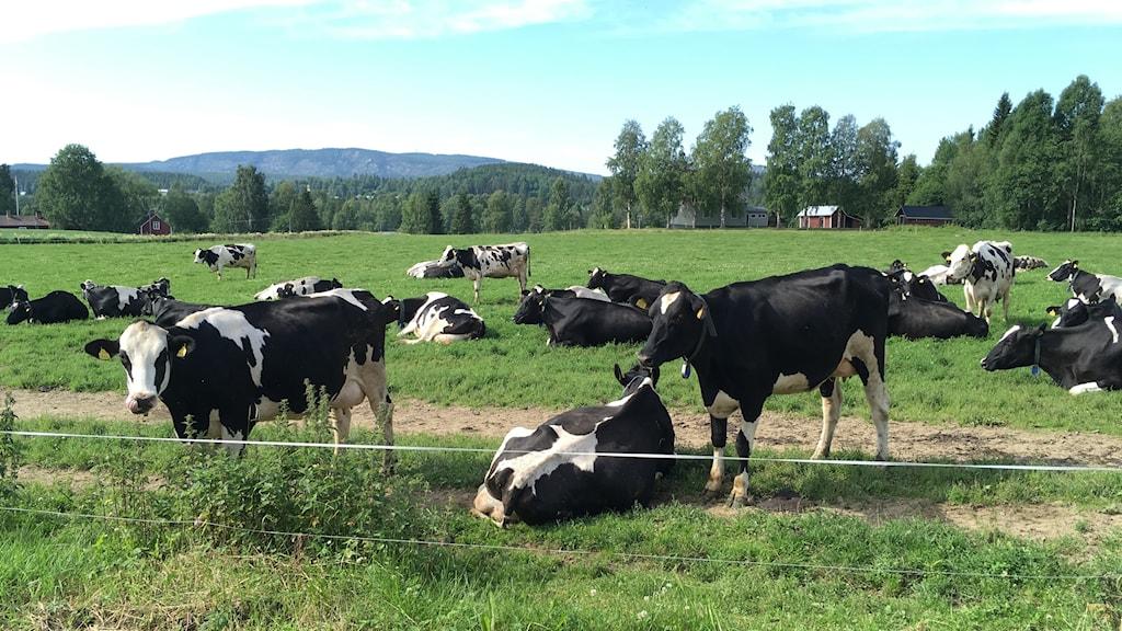 Nästan varje år förlorar Ann-Christine Sandin någon eller några kor som får skärsår i magen av vassa föremål de får i sig genom fodret.