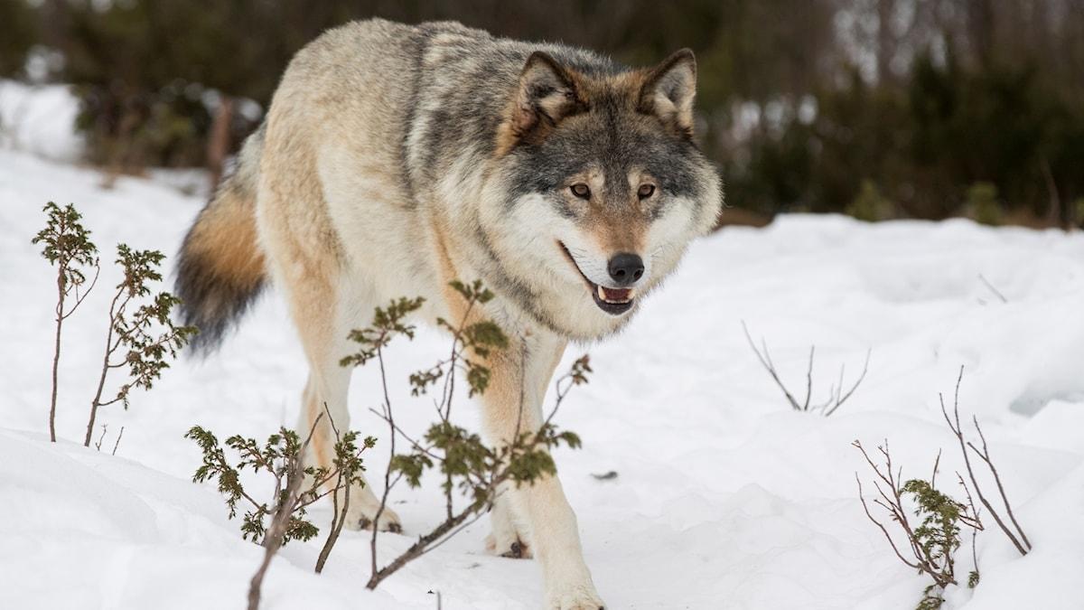 En bild på en varg som går i snö.