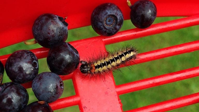 En larv och blåbär i en bärsil.