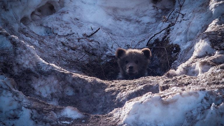 Björnunge på väg ut idet