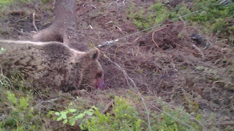 Jakthärvan Död björn