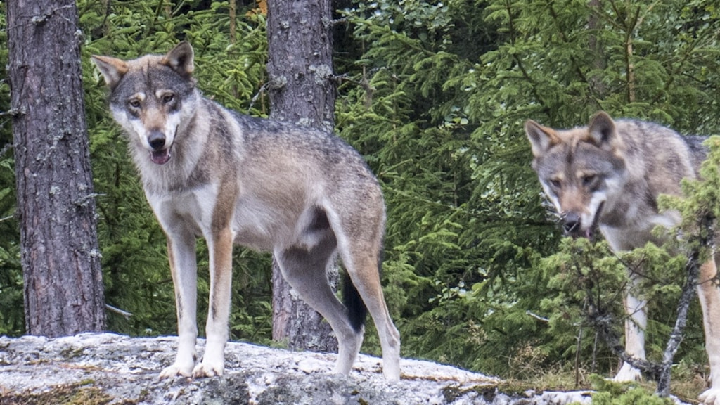 två vargar i skogen