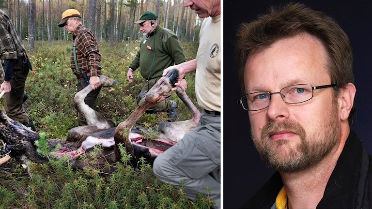 Björn Sundgren vid Jägarförbundet Norrbotten och älgjägare som släpar bort en skjuten älg.