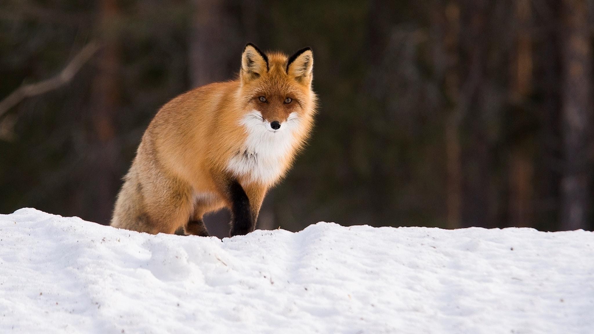 En rödräv står på snön och tittar rakt in i kameran. Foto: Anders Gustafsson