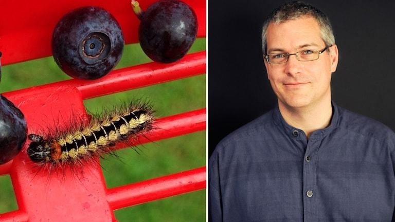 Didrik Vanhoenacker, jourhavande biolog på Naturhistoriska riksmuséet tror att larven bland blåbären i rensgallret är en blågrön aftonfly.