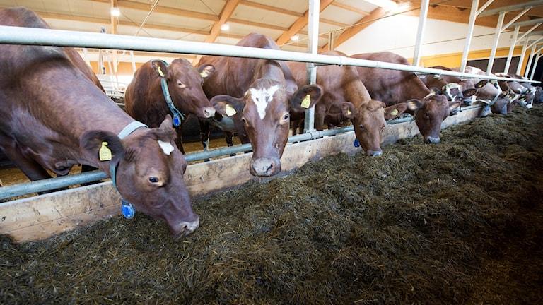 En lång rad med kor som äter foder från ett foderbord.
