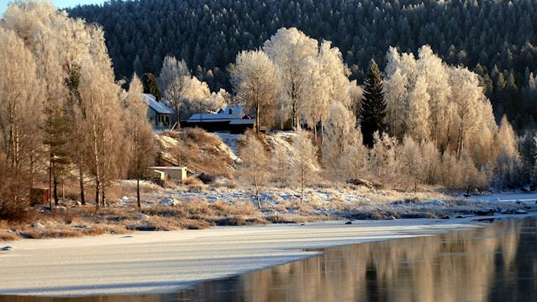 Frostigt och kallt vid Luleälven. Vita träd speglas i vattnet, hus skymtar bakom. Foto: Ulf Holmström