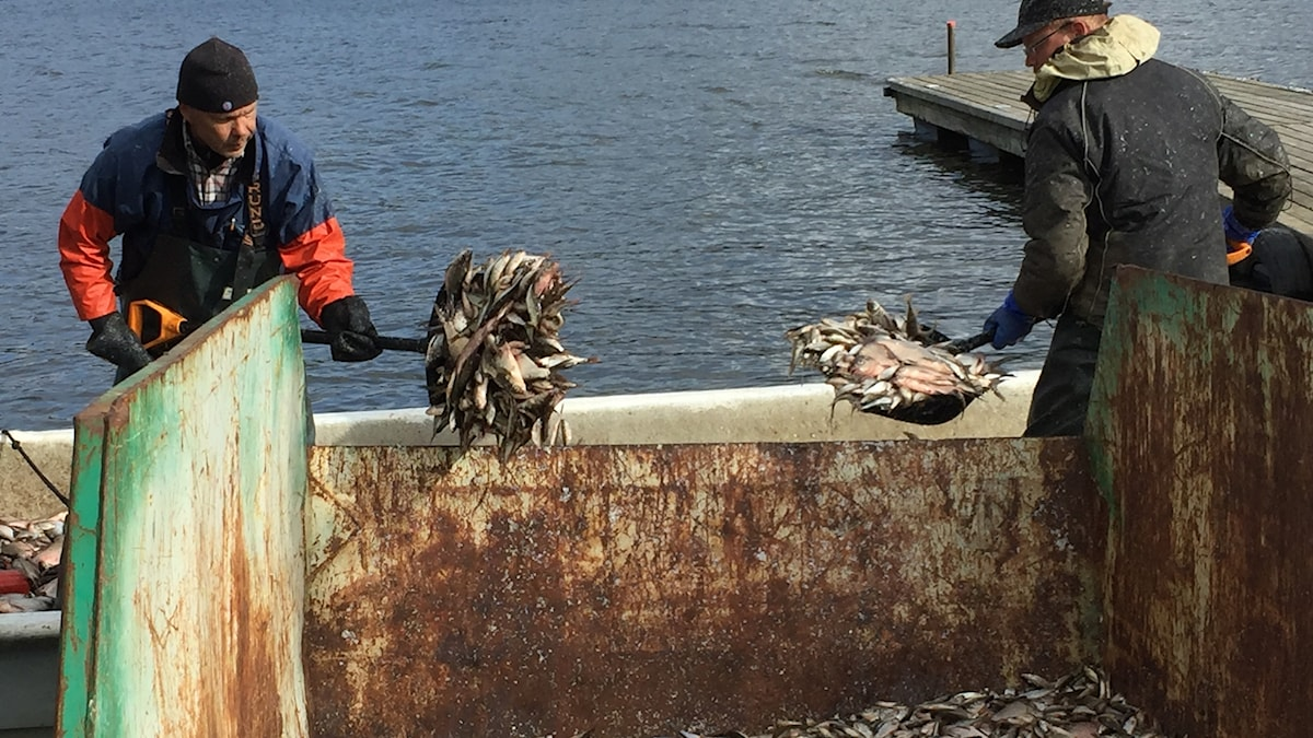 Två män använder spadar för att fylla en container med fisk.