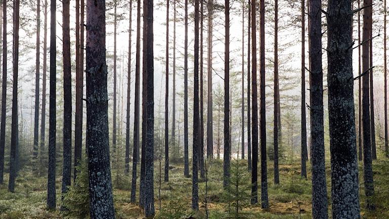 tallskog, skog, mark