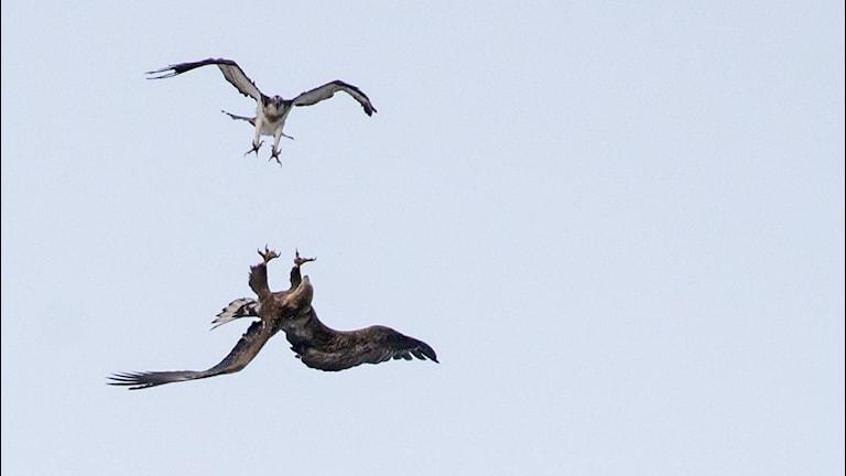 Fiskgjuse och havsörn i bråk. Foto av naturfotografen Gunilla Falk.