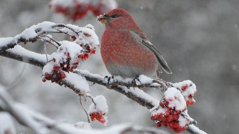 En tallbitshane sitter på en gren är Veckans bild i P4 Norrbotten.
