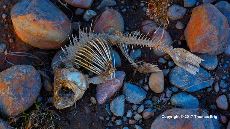 Ett fiskskelett på stenar. Foto: Thomas Ifrig