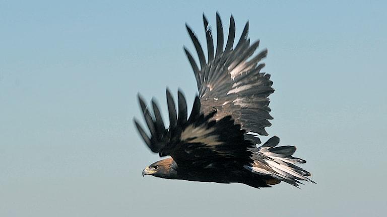 En flygande kungsörn.