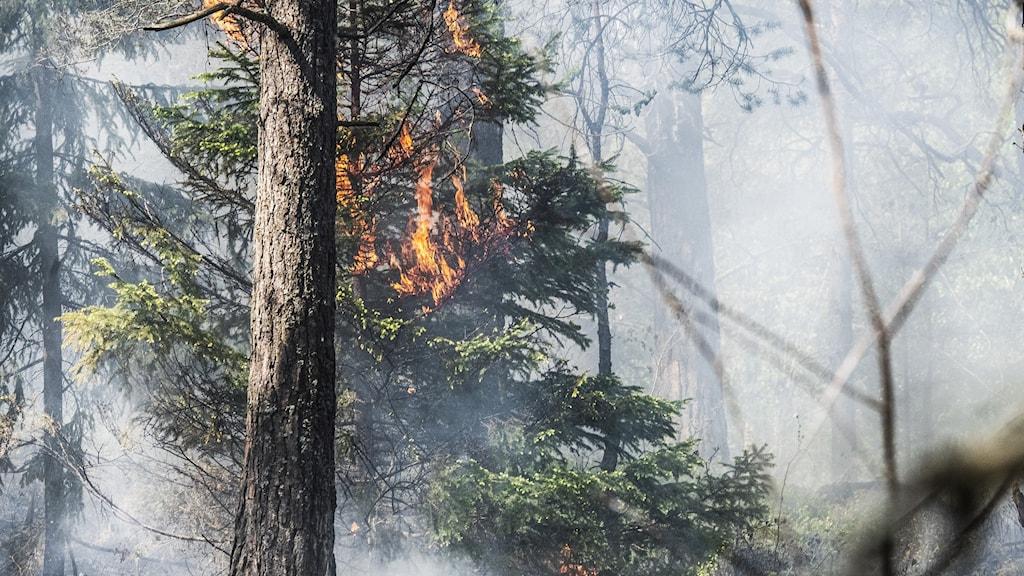 Träd brinner vid skogsbrand, arkivbild.