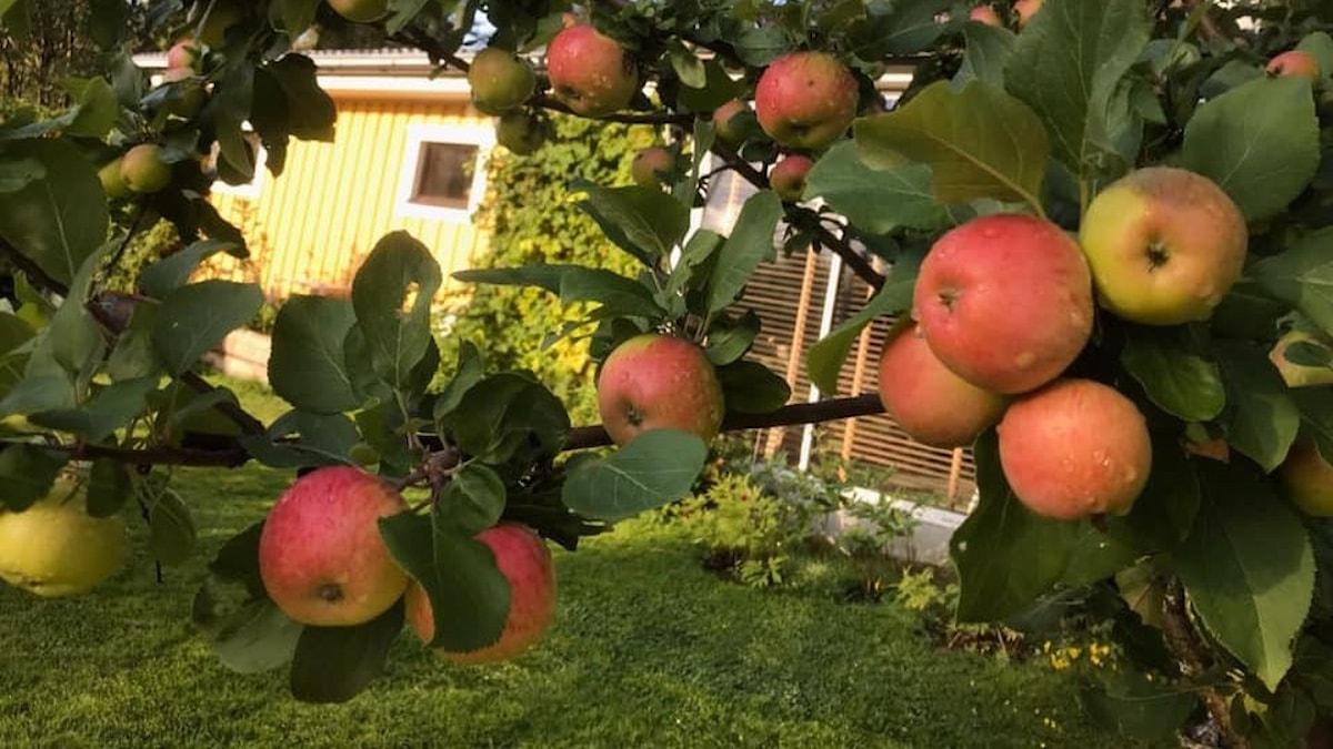 Ett äppelträd med många äpplen som ser ut att vara redo att plockas. Ett gult hus skymtar fram mellan grenarna.