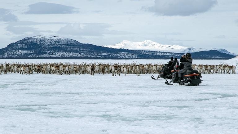 Massor av renar på isbelagda Hornavan. Två skotrar i förgrunden, fjäll i bakgrunden.