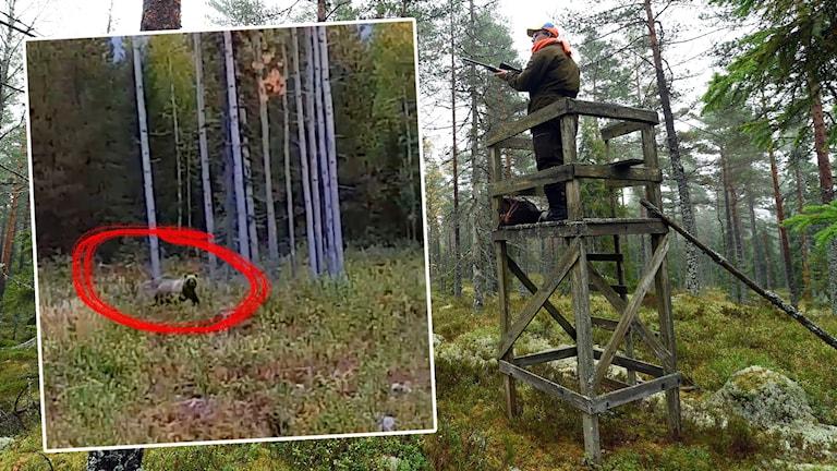 Bild från Anders Åbergs film från björnmötet under älgjakten i Ubbyn.