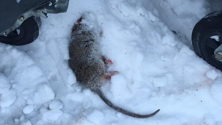 Död råtta.
