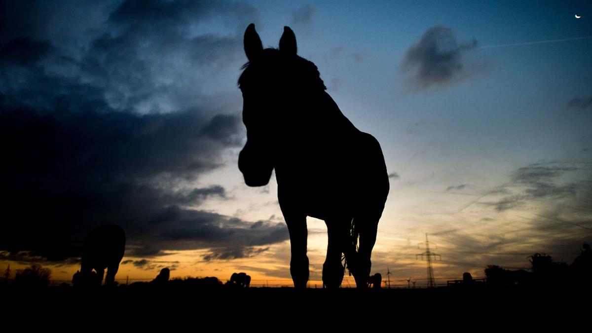 Betande häst i motljus.