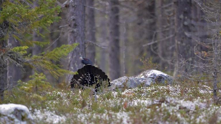 En tjädertupp bland mossa och stenar i skogen.