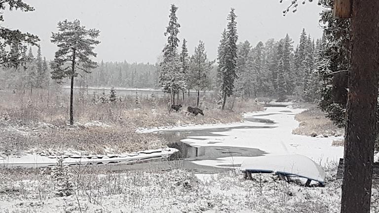 Veckans bild: Älgar i svartvitt vinterlandskap