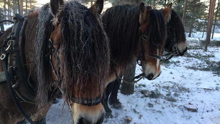 Nordsvenska brukshästarna Dacke, Vilmar och Palt
