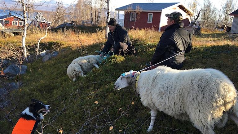 De norska fåren är fångade i Vaisaluokta
