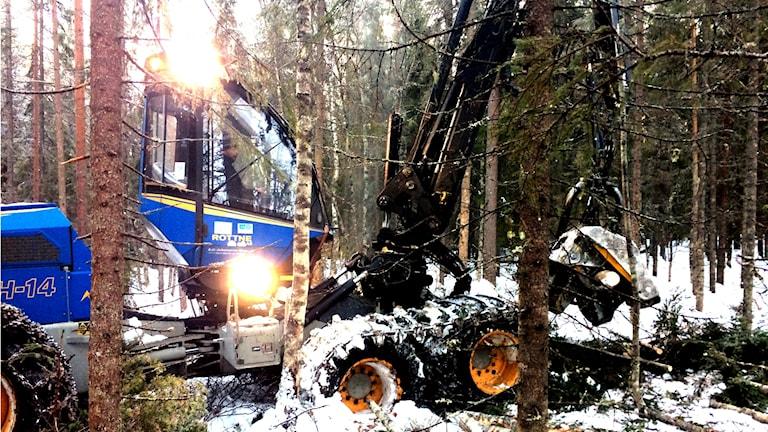 Mattias Olsson gallrar sin skog med en skördare.