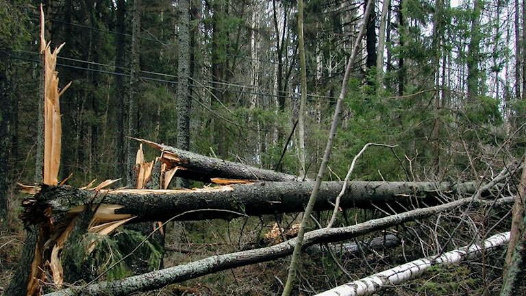 Stormfälld skog i Roslagen.