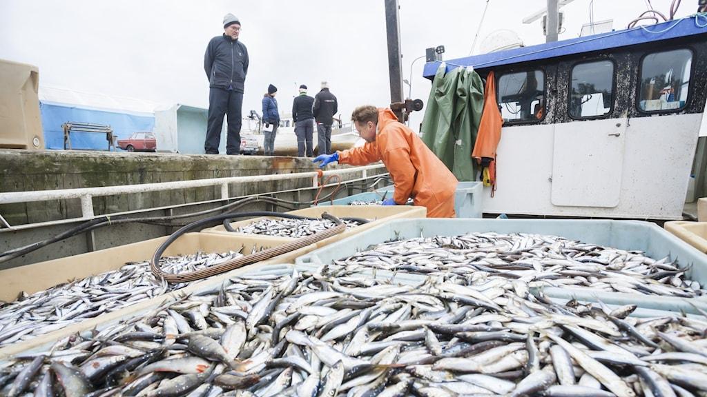 Fiskebåt med en stor mängd siklöja ombord står vid en kaj.