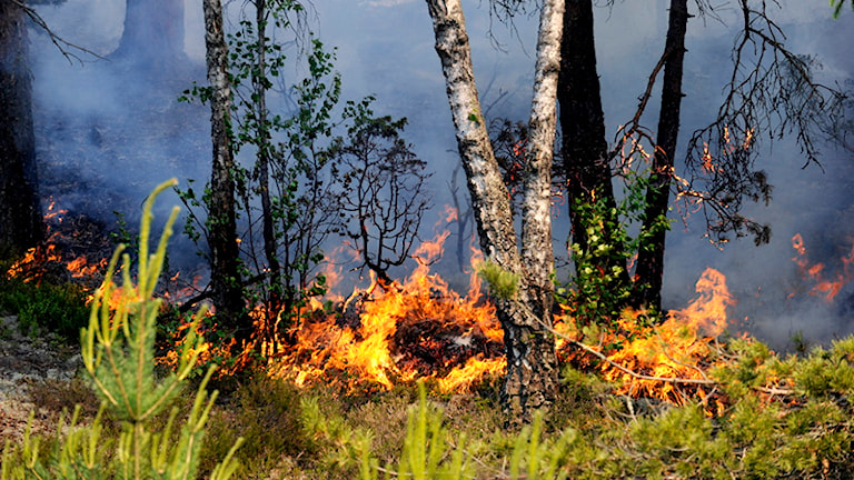 Bilden är tagen vid en annan skogsbrand. Foto: Pontus Lundahl/Scanpix