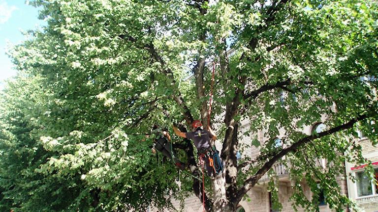 Lindar är vanliga alléträd.