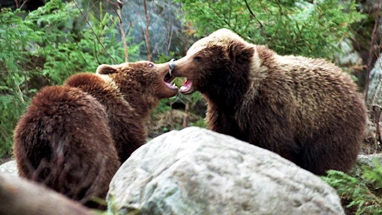 Fler björnar kan ställa till det för fäbodbrukarna i länet. Foto: Björn Larsson Ask/Scanpix