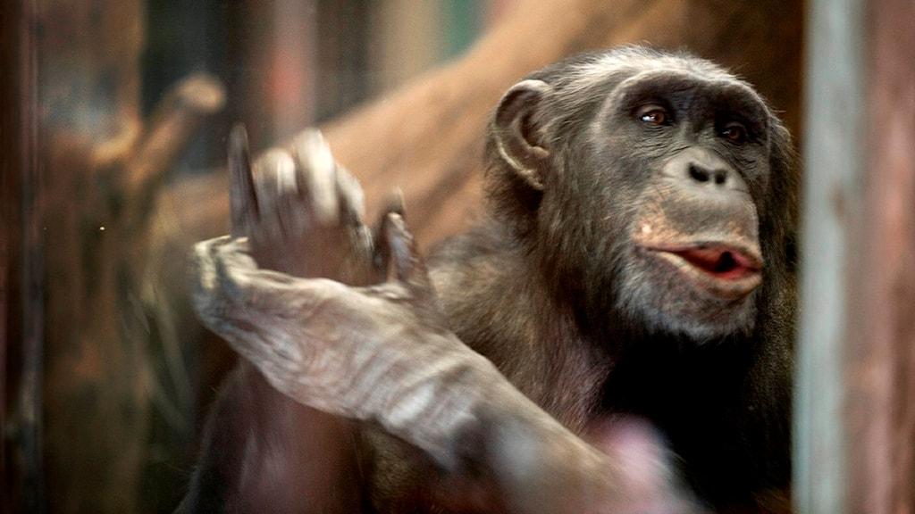 Upprörda känslor när schimpansen Linda måste flytta från Furuviksparken (det är inte Linda på bilden).