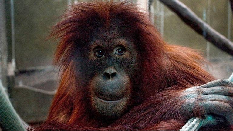 Orangutangen Utara på Furuvik.