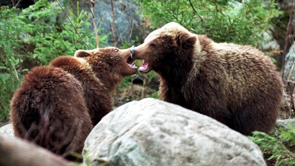 Två björnar hugger mot varandra