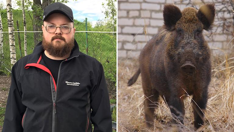 Jägare måste få hjälp med kostnaden för provtagning av vildsvinsköttet. Hos varannat vildsvin överstigs gränsvärdet på 1500 bequerel. Jörgen Linander är jägare och ledamot i Gävle södra jaktvårdskrets.e