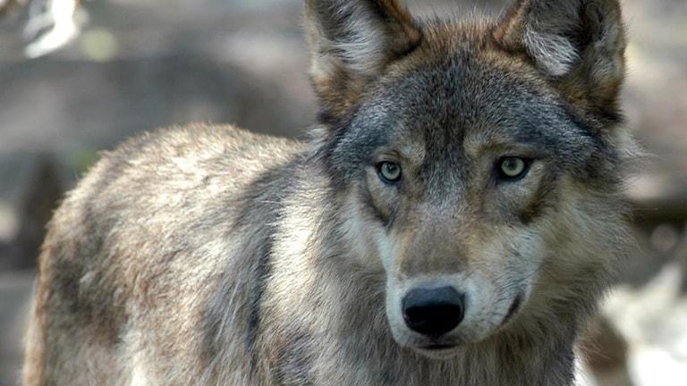 En ny undersökning har tittat på attityder mot varg i län där vargen finns. Foto: Dawn Villella/Scanpix.