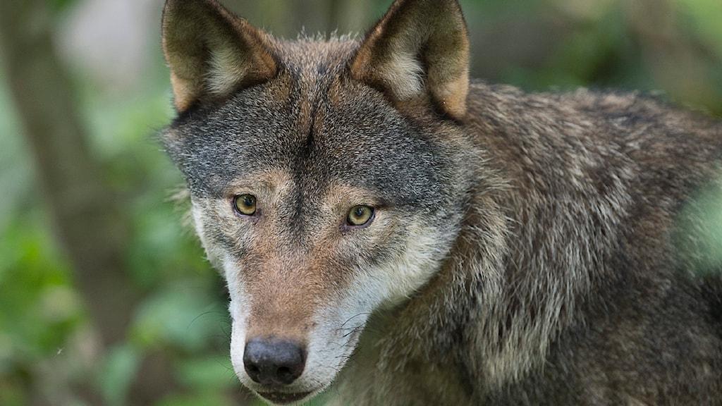 Enligt ansökan har vargen orsakat oro bland dem som bor i närheten.